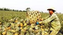 Quỳnh Lưu trúng mùa dứa, nông dân thu tiền tỷ