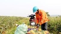 Hơn 9.000 tấn dứa Quỳnh Lưu (Nghệ An) cần nhà máy chế biến