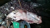 Vì sao cá chết trắng biển miền Trung ?