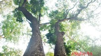Cây lát hoa nửa tỷ đồng ở Nghệ An