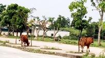 Đường 72m thành nơi thả bò và điểm tập lái