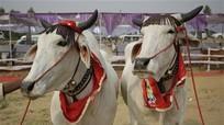 Độc đáo cuộc thi hoa hậu bò tại Ấn Độ
