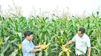 Cây ngô biến đổi gen nâng giá trị đất bãi