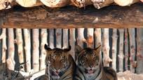 Hổ Việt Nam có thể đã tuyệt chủng