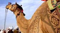Sửng sốt với kiệt tác nghệ thuật trên lưng lạc đà