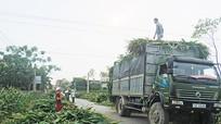 Diễn Châu: Nông dân phấn khởi bán ngô non cho công ty bò sữa