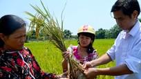 Rầy nâu phá hoại lúa đông xuân ở Anh Sơn