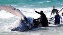 [Video] Thế giới giải cứu cá voi mắc cạn như thế nào?
