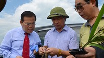 Gạo thảo dược và rơm Nghệ An sẽ xuất khẩu sang Hàn Quốc