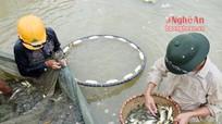 Nghệ An: Tăng sản lượng cung ứng cá giống nước ngọt