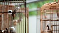 Chơi chim: Thú chơi dành cho người 'giàu'