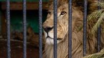Chile: Hy sinh cặp sư tử để cứu mạng người muốn chết