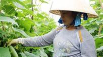 Xây dựng mô hình sản xuất rau an toàn ở Hoàng Mai