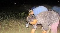 Người dân Nghệ An cấy đêm tránh nắng