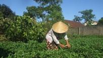 Nghề trồng rau gia vị sạch ở Cửa Lò