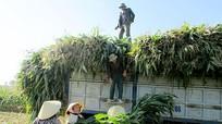 Trồng ngô cây trên đất 2 lúa đạt 100 triệu đồng/ha