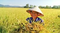 Cánh đồng trồng chung 1 giống lúa ở Diễn Châu (Nghệ An) đạt gần 8 tấn/ha