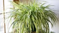 12 loại cây cảnh giúp thanh lọc không khí nhà bạn