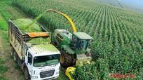 Tạo vùng nguyên liệu phục vụ tiêu dùng và xuất khẩu