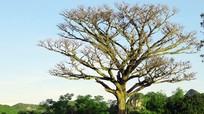 Chiêm ngưỡng cây xoài cổ thụ 500 tuổi ở miền Tây Nghệ An