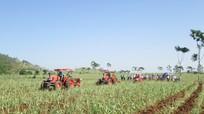 Ruộng nhân giống mía cấp 3 giúp tăng năng suất, chất lượng mía