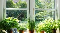 Những vườn rau sạch... trong nhà