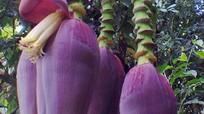 Kỳ lạ cây chuối mọc thêm 4 hoa sau khi trổ buồng
