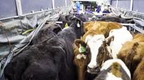 VINAMILK tạo đột phá mới từ dòng sữa tươi cao cấp Organic