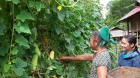Mang dưa rẫy về trồng trong vườn nhà