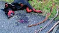 Chú chó anh hùng cắn chết rắn hổ mang cứu chủ