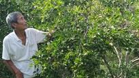 Từ vườn tạp đến vườn cây ăn quả của CCB Anh Sơn