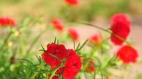 Vẻ đẹp loài hoa 'nhắc thời gian'