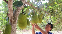 Trồng mít Thái trên vườn tạp, thu trăm triệu mỗi năm