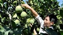 Bưởi Diễn trồng trên 'đất nhút' cho thu nhập gần 1 tỷ đồng/ha