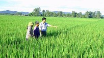 Diễn Châu nhân rộng cánh đồng một giống lúa