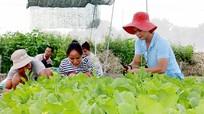 Đổ xô thuê đất trồng rau sạch