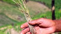 Lúa rẫy chết khô, nhiều bản Khơ Mú lo thiếu đói
