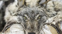 Nghề săn chó sói ở vùng đất lạnh giá nhất Nga