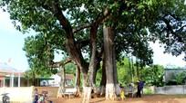 Chiêm ngưỡng cây đa hơn 500 tuổi ở Nghệ An