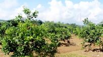 Chuyển đổi cơ cấu cây trồng – hướng đi hiệu quả ở Chi Khê