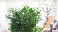 7 loại cây thanh lọc không khí hợp với nhà chật
