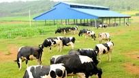 Chiến lược phát triển trang trại bò sữa của Vinamilk
