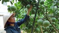 Từ vườn tạp đến vườn cây ăn quả cho thu nhập cao ở Anh Sơn