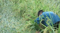 Nam Đàn: Hàng trăm diện tích lúa đổ ngập trong nước