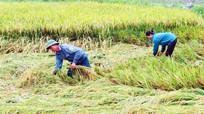 Mưa lớn, hơn 200 ha lúa ở Nghệ An bị đổ rạp