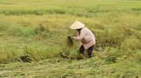 Các địa phương khắc phục thiệt hại cho cây trồng do mưa lớn