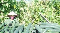 Trồng bí xanh đem lại 30 tỷ đồng cho người dân vùng cao Thanh Chương