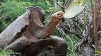 Cụ rùa trăm tuổi cứu cả loài khỏi tuyệt chủng nhờ năng giao phối