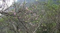 Ngắm hoa đào nở giữa mùa Thu ở Mường Lống