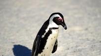 Hầu tòa vì tội bắt cóc chim cánh cụt